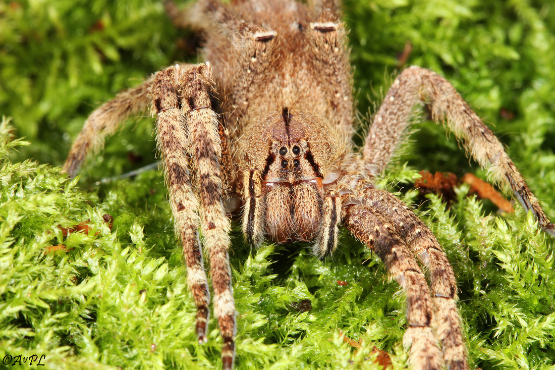 Avpl, Brazilian wandering spider, Phoneutria fera, Anthonyvpl, Eco Animal Encounters