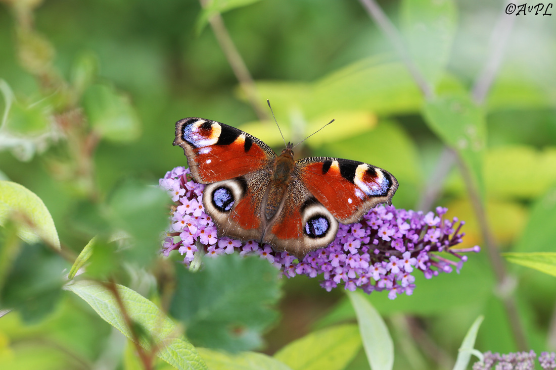 Avpl, Peacock Butterfly, Aglais io, Anthonyvpl, Anthony Plettenberg Laing, Dorset