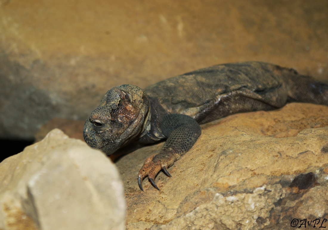 Avpl, Sudan mastigure, Uromastyx dispar, Anthonyvpl, Anthony Plettenberg Laing, London Zoo, ZSL