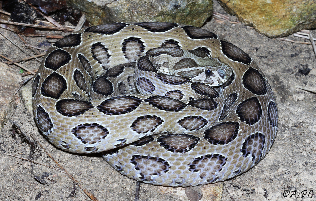 Avpl, Russell's Viper, Daboia russelii, Anthonyvpl, Eco Animal Encounters