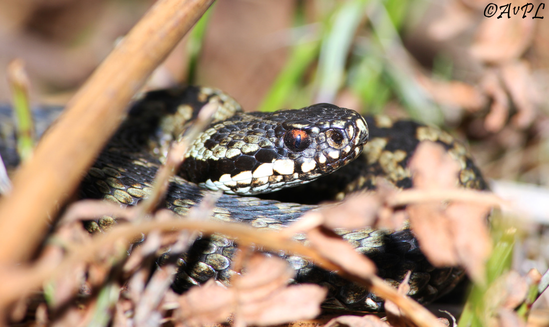 Avpl, photography, Anthony Plettenberg Laing, Adder, Vipera berus