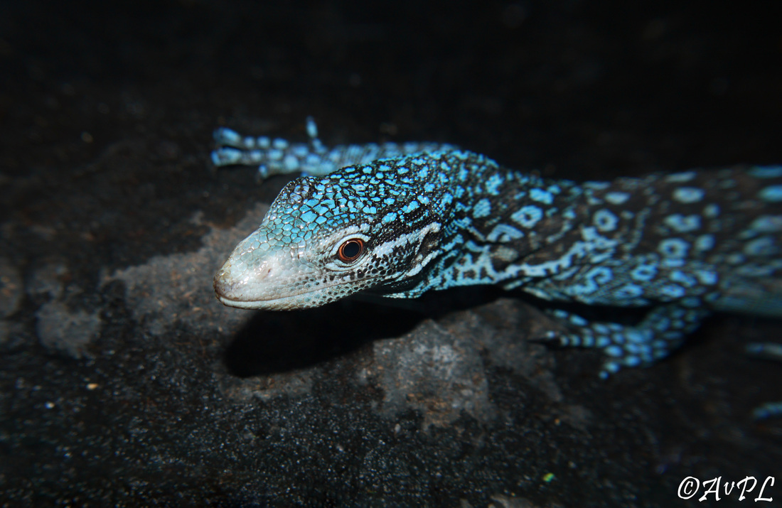 Avpl, Blue tree monitor, Varanus macraei, Anthonyvpl, Anthony Plettenberg Laing, London Zoo, ZSL