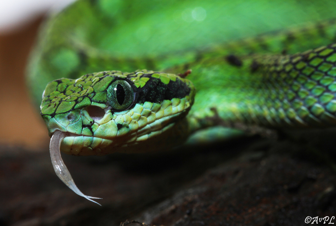 Avpl, Sri Lankan Bamboo Viper , Trimeresurus trigonocephalus, Anthonyvpl, Eco Animal Encounters