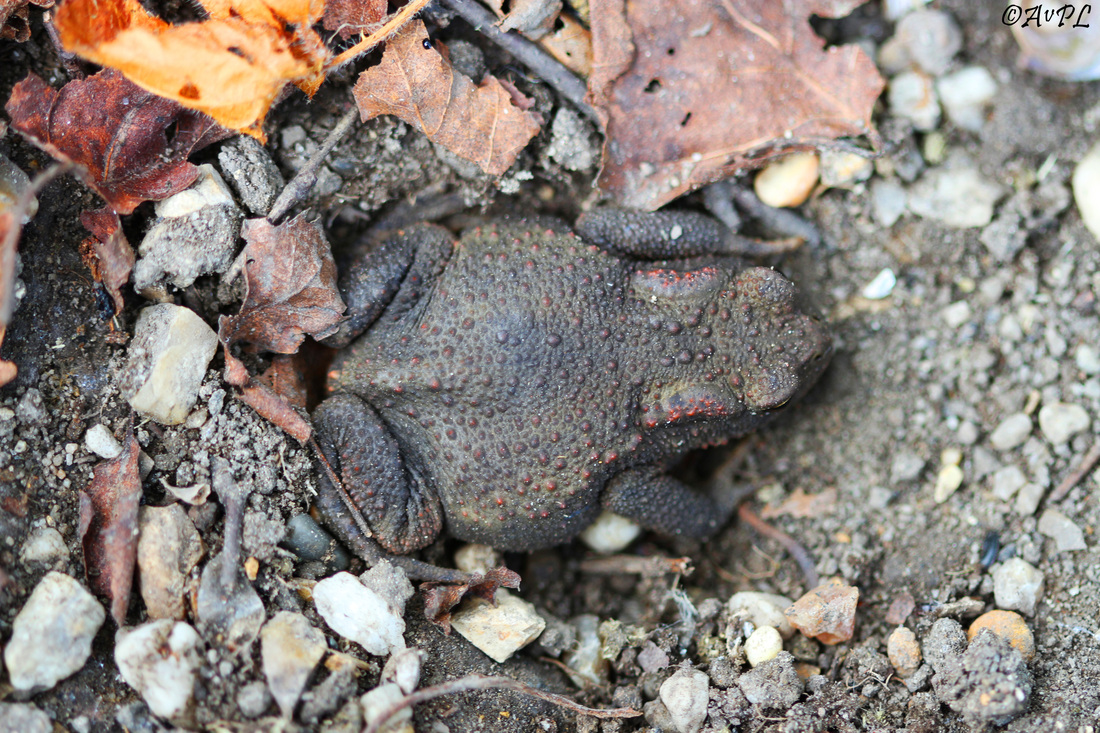Avpl, Common Toad, Bufo bufo, Anthonyvpl, Anthony Plettenberg Laing, Dorset