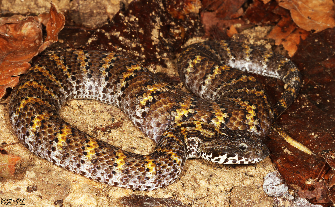 Avpl, Rough-scaled death adder, Acanthophis rugosus, Anthonyvpl, Eco Animal Encounters