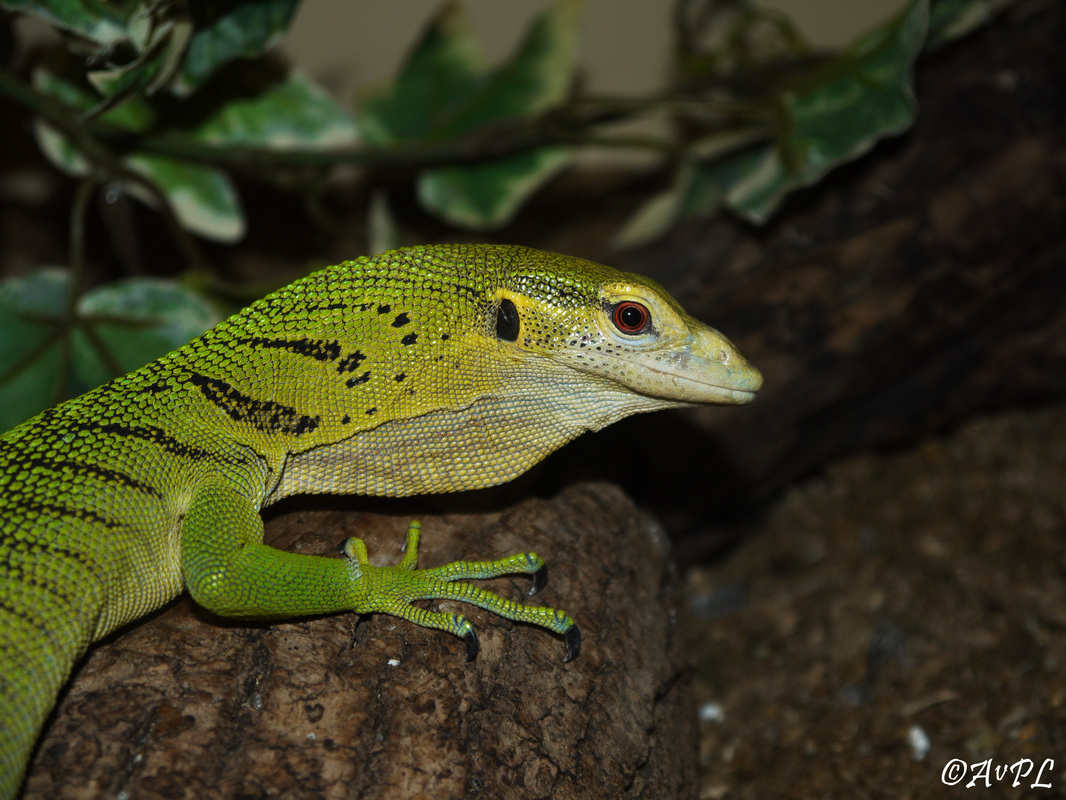 Avpl, Varanus prasinus, Emerald Tree monitor, Anthonyvpl, Anthony Plettenberg Laing, London Zoo, ZSL